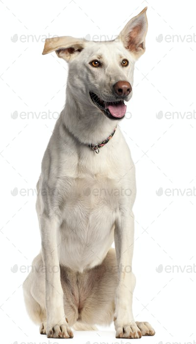 Berger Blanc Suisse, 3 years old, sitting in front of white background