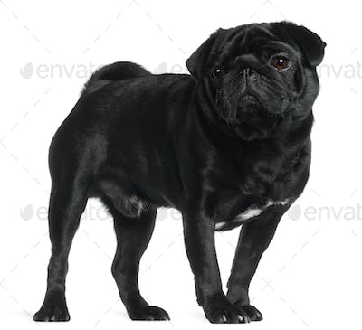 Pug, 2 and a half years old, standing in front of white background