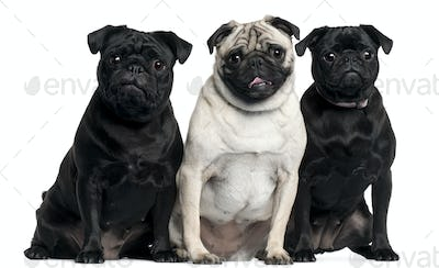 Three Pugs sitting in front of white background