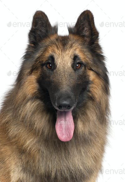 Close-up of Belgian Shepherd or Tervuren, 2 years old, in front of white background