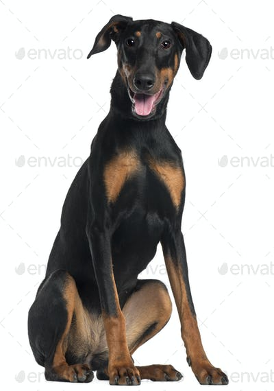 Doberman Pinscher, 8 and a half months old, sitting in front of white background