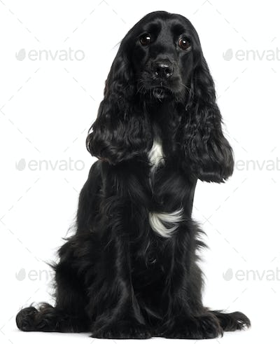 English Cocker Spaniel, 8 months old, sitting in front of white background