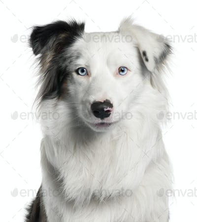 Close-up of Border Collie, 2 years old, in front of white background