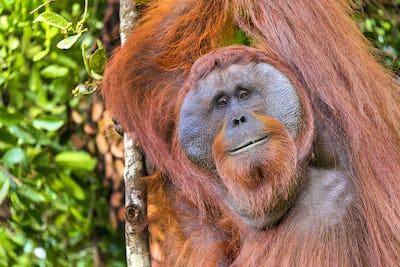 Orangutan, Tanjung Puting National Park, Borneo, Indonesia
