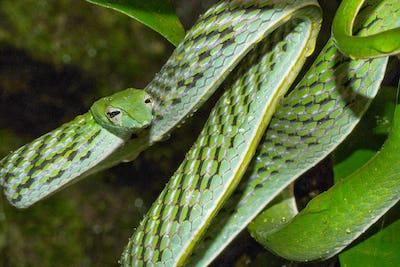 Green Vine Snake, Long-nosed Whip Snake, Sinharaja National Park Rain Forest, Sri Lanka