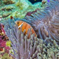 Blackfinned Anemonefish, Coral Reef, South Ari Atoll, Maldives