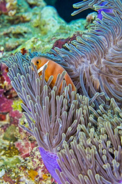 Blackfinned Anemonefish, Coral Reef, South Ari Atoll, Maldives
