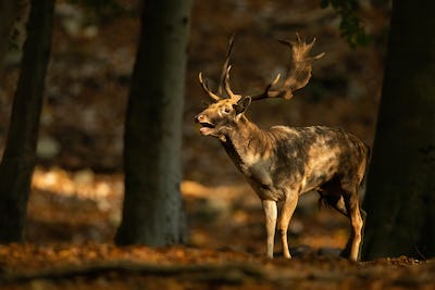 Strong fallow deer stag roaring in forest in autumn