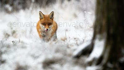 Red fox approaching in forest in wintertime nature