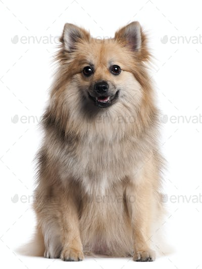 German Spitz, 1 and a half years old, sitting in front of white background
