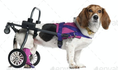 Paralyzed handicapped mixed-breed dog, 8 years old, in front of white background