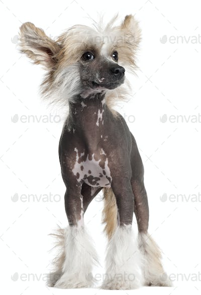 Chinese Crested puppy, 4 months old, standing in front of white background