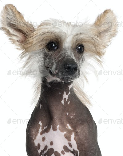 Close-up of Chinese Crested puppy, 4 months old, in front of white background