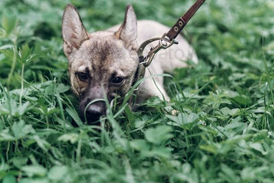 Adorable little dog eating grass outdoors, cute grey puppy portait lying in the grass in the park