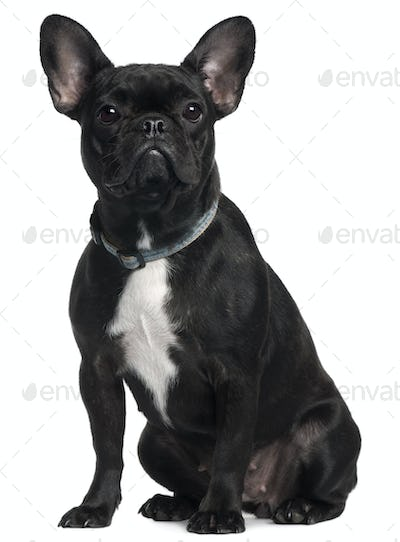 French bulldog, 9 months old, sitting in front of white background