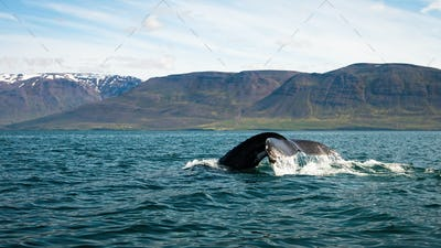 Humpback whale breaching from water in Icelandic nature