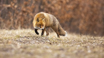 Stealthy red fox walking on meadow in autumn nature