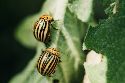 Colorado Striped Beetles - Leptinotarsa Decemlineata. This Beetle Is A Serious Pest Of Potatoes