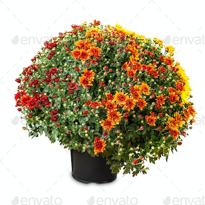 Yellow and red two-tone winter chrysanthemum