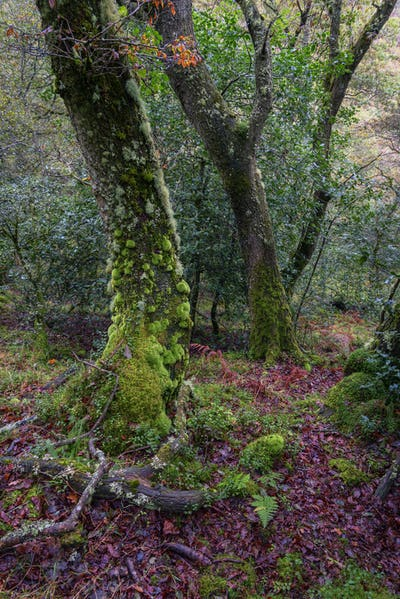 An oak tree with the trunk covered in moss