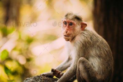 Goa, India. Old Bonnet Macaque Monkey - Macaca Radiata Or Zati. Close Up Portrait