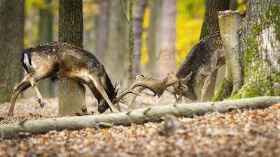 Territorial fallow deer stags fighting in forest in autumn
