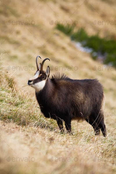 Tatra chamois standing in autumn mountains in vertical composition