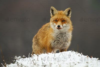 Alert red fox looking on meadow in winter nature
