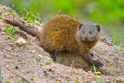 Dwarf mongoose, Kruger National Park, South Africa
