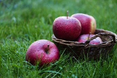 fresh picked red apples with water drops in wicker basket in grass