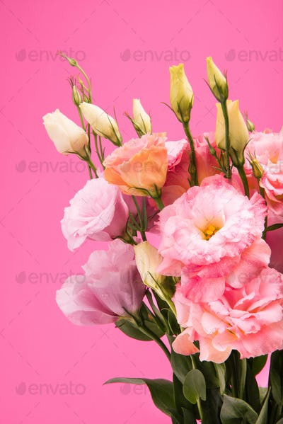 Close-up view of beautiful blooming flowers and buds with green leaves isolated on pink