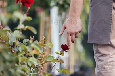 selective focus of male hand touching red rose in garden