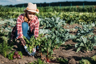 young female farmer in hat harvesting beetroots in field