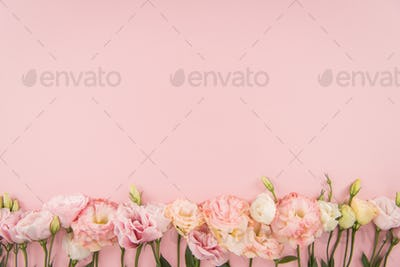 Top view of beautiful tender blooming eustoma flowers isolated on pink background