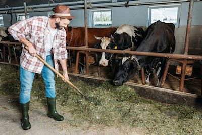 smiling bearded farmer holding forks and feeding cows in stall
