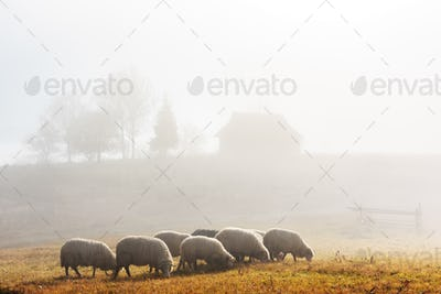 Herd of sheeps in spring mountains