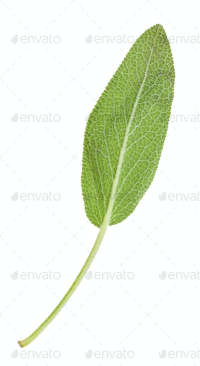 back side of green leaf of sage herb isolated