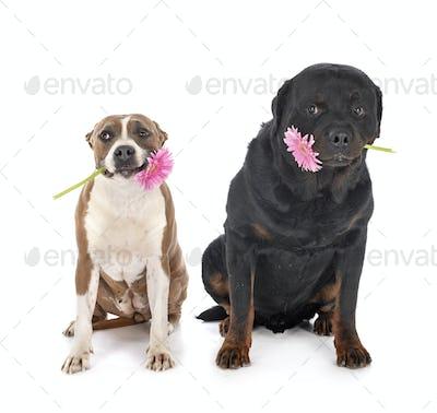 guard dogs in studio