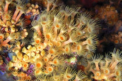 Yellow Encrusting Sea Anemone, Cabo Cope-Puntas del Calnegre Natural Park, Spain