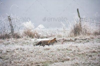 Red fox walking on meadow in wintertime nature
