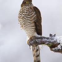 Majestic eurasian sparrowhawk sitting on branch in winter