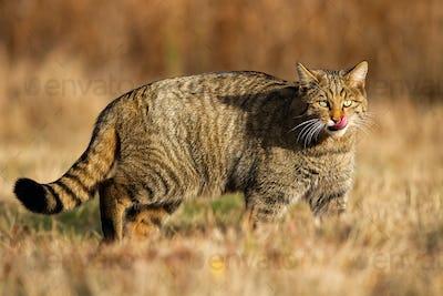 European wildcat walking on grass in autumn nature