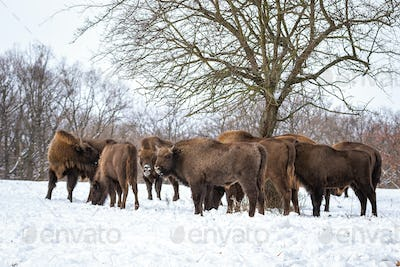 Herd of european bisons standing in forest in wintertime
