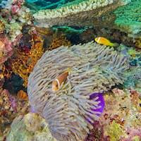 Blackfinned Anemonefish, South Ari Atoll, Maldives