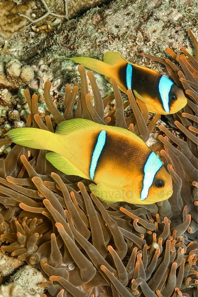 Red Sea Clownfish, Two-banded Anemonefish, Red Sea, Egypt