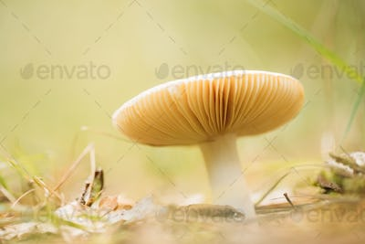 Russula Mushroom Growing Among Fallen Leaves In Autumn Forest. Bottom View