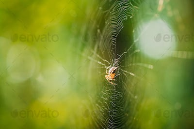 Large Spider Inside Woven Web In Forest