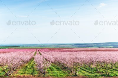 Richly blossoming tree garden on a lawn with a beautiful sky on a back background