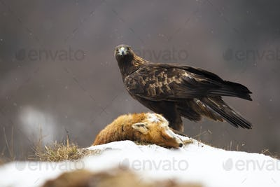 Golden eagle looking to the camera on meadow in winter