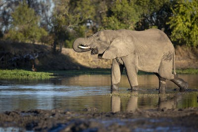 An elephant, Loxodonta africana, stands in a water hole and drinks, trunk to mouth, side profile